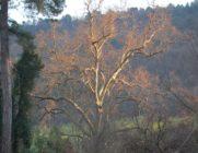 36-tree